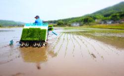 きたぜ!田植えの季節到来!GWはわが家の国民的行事!秋の稲刈りに向けて元気に育ってくれよーー